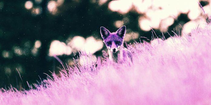 Purple Fox windows